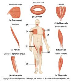 """jennifer-lutz: """" A big factor that contributes to muscle force and speed is fascicle arrangement. Other factors such as fiber type, lever systems and load will be discussed in a separate article. """""""