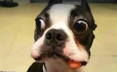 A cheerfully bug-eyed Boston Terrier attempts to conceal the evidence of his carrot thievery, but his flappy jowls give him away. Hiding Spots, Rottweiler, Dogs And Puppies, Doggies, Funny Dogs, Picture Video, Cute Pictures, Carrots, Cute Animals