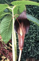 """Jack in the Pulpit - Speciosum. Bloom time = May to June. 36"""". Full shade to partial sun. Prefers moist, well drained soil and plenty of leaf mold."""