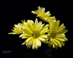 Cluster of Yellow Daisies 0501 by Thomas Jerger on 500px