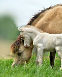 Fjord mare and foal. Proof that horses love their babies just as much as people.