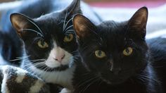 Checkers and Mouse is an adoptable Tuxedo Cat in Canton, MA. Checkers and Mouse are brothers who are just under a year old.  Mouse is a DSH black kitty who is very sweet, loving, and playful.  Checker...