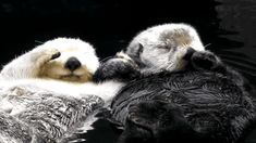 devilcallsmeprincessxx:  Otter Love(✿◠‿◠)