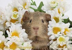 Cute baby agouti Guinea pig among daisy flowers