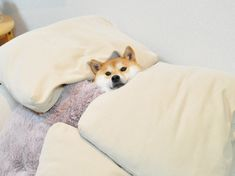 shiba under covers