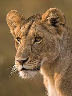 Lions:  Lioness.
