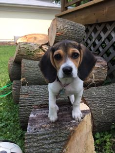 Yup! I Chucked all this wood just like a woodchuck! Puppies And Kitties, Cute Puppies, Pet Dogs, Dog Cat, Pets, Doggies, Art Beagle, Beagle Puppy, Animals Beautiful