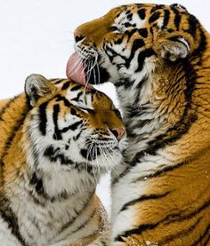 Beautiful tigers are pictured grooming each other at the Minnesota Zoo in celebration of Global Tiger Day.