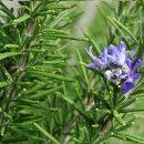 Romero, una planta medicinal que mejora la memoria, el dolor de cabeza, la cistitis y la circulación sanguínea ecoagricultor.com