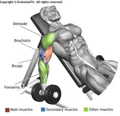 BICEPS -  ALTERNATE INCLINE DUMBBELL CURL