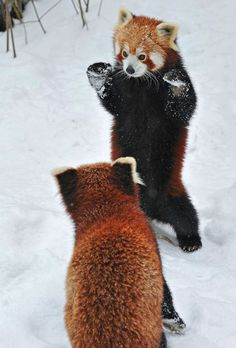 Red Pandas - It has been previously placed in the raccoon and bear families