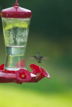 Facing off with the hummingbird in my back garden - he wasn't sure about me.