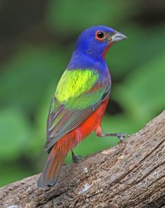 Painted Buntings – Nature's Color Wheels | Tallahassee.com ...