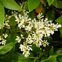 Ligustrum japonicum 'Texanum' - Troène du Texas - Troene du Japon parfumé