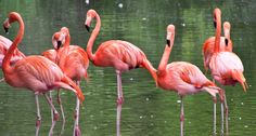 MODERN FAMILYFlamingos and other waterbirds end up scattered in a new tree of life, one of the examples of placement that may surprise bird-watchers used to field guide groups. ~~ Rob Slaven/Flickr (CC BY-NC-SA 2.0)