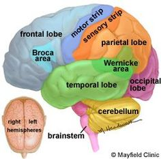 Brain Anatomy...TBI and CVA. Repinned by SOS Inc. Resources.  Follow all our boards at http://Pinterest.com/sostherapy for therapy resources.