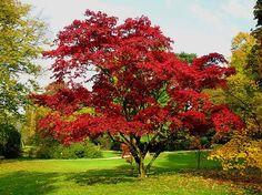 Quercus rubra http://www.geo.de/reisen/community/bild/regular/236032/Rotbuche.jpg