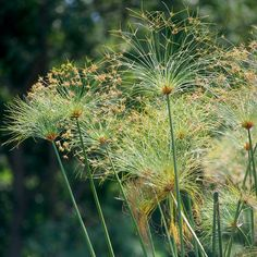Papyrus*While ancient Egyptians used this plant to make paper, it's also a great water-garden plant. The tall stems create a decidedly tropical look.  Name: Cyperus papyrus  Growing Conditions: Full sun, pondside or submerged.Size: To 6 feet tall