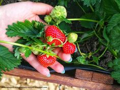 łatwo zbierać Strawberry Planters, Fruit, Compost