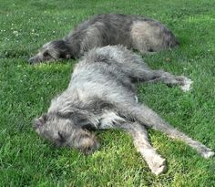 I met an irish wolfhound in Colorado and fell in love with the breed. They are so sweet and docile. Irish Wolfhounds, Irish Wolfhound Puppies, Dog Rules, Dog Carrier, Sleeping Dogs, Beautiful Dogs, Dogs And Puppies, Dog Lovers, Dogs