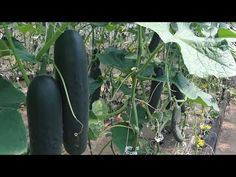 This is how we lower / drop and lean our cucumbers. It has given us fantastic production as we will give you the total weight of cucumbers we have harvested . Cucumber Plant, Spring Hill, Harvest, This Is Us, Drop, Plants, Tomatoes, Gardening, Videos