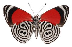 Butterfly Diaethria clymena – Underside | The Evolution store | http://theevolutionstore.com