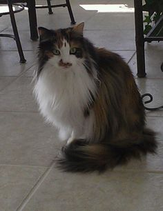 Maine coon cat. What beautiful colors with a great mane
