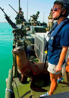 A marine mammal handler from the Navy Marine Mammal Program prepares to send Cody, a California sea lion, into the water during the International Mine Countermeasures Exercise (IMCMEX).