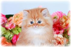 teacup orange kitten | Red Tabby Teacup Persian Kitten - www.dollfacepersiankittens.com