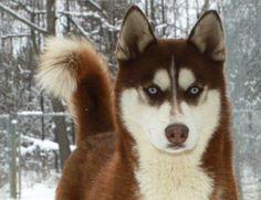 Siberian Husky Breeder,Siberian Husky,Siberian, Husky, Puppy,puppies,Guarantee, Minnesota,mini,for sale,breeder,