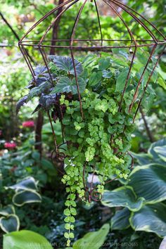 asian hanging plants | decorative plants in a hanging wire plant container