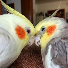 ~ — cockatielcove: These two are just too cute.