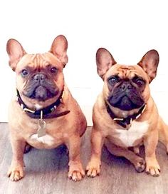 French Bulldogs❤
