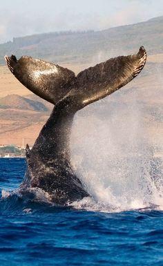 Humpback Whale in Hawaii waters