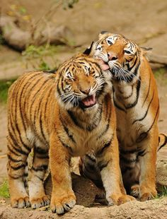 """Hehe stop it Mr tiger"""