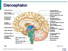 Brain 14493f664654cb289fbg 1402891 ap pinterest image result for diencephalon labelled ccuart Images