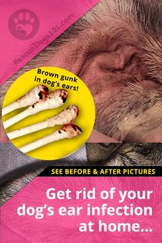 Get rid of dog ear infections at home See before and after pictures of my dogs ear infection. If your dog has brown gunk in his ears you need to see my Step by step on How I Clean My Dogs Ears. #doghealth #doggies #doglovers #dog #dogadopt #dogadoption #adoptadog #dogstuff #cuteanimals #puppy #doggoals #puppylove #rescuedogs101