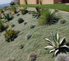 Dymondia margaretae as lawn in Succulent garden