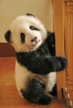 Awwwwwwww my love for pandas continues. Cute Baby Animals, Animals And Pets, Funny Animals, Wild Animals, Beautiful Creatures, Animals Beautiful, Beautiful Things, Photo Panda, Baby Panda Bears