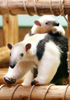 TAMANDUA.....two types: Northern & Southern....the NORTHERN is found in Central and South America and measures 18.5 - 30 inches long with a 15.7 - 26.4 inch tail and weighs 4.4 - 15.4 pounds....the SOUTHERN (aka the Collared or Lesser Anteater) is found in South America and measures 21 - 34.6 inches long with a 14.5 - 23.5 inch tail and weighs 7.75 - 19 pounds...can spray a foul-smelling secretion said to be four times more powerful than a skunk's