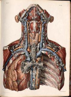 Human Anatomy Art, Anatomy Study, Body Anatomy, Anatomy Drawing, Anatomy Reference, Pose Reference, Medical Drawings, Medical Art, Medical Science