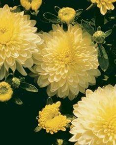 Crysanthemum, Design Art, Floral Design, Wholesale Nursery, Florist Logo, Flower Sleeve, Wedding Tattoos, Autumn Garden