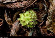 Fallen Horse Chestnut conker in a bed of autunm leaves. © ENphoto / Alamy