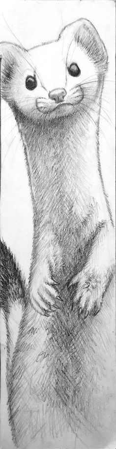 Ermine Bookmark by munchengirl on DeviantArt Cute Animal Drawings, Pencil Art Drawings, Animal Sketches, Art Drawings Sketches, Easy Drawings, Cute Ferrets, Wow Art, Cartoon Art, Cute Art