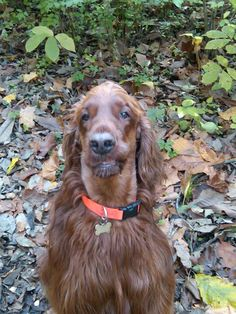 Irish setter: Tucker Two Shoes. Check out the lip stuck on the tooth!