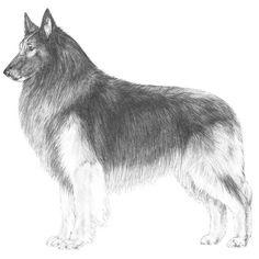 Illustration of the Belgian Tervuren breed standard.