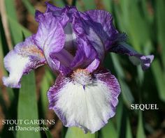 """(Paul Black 2005) Standard dwarf bearded iris,14"""" (36 cm), M. S. silvery white, wide orchid plicata band; F. bright white, heavy darker orchid plicata wash and veins over haft ending half way down F.,"""