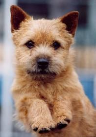 Norwich Terrier  I want you in my life.