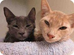 Orange, CA - Domestic Mediumhair. Meet A1412275, a cat for adoption. http://www.adoptapet.com/pet/13731982-orange-california-cat