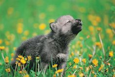 Wolf Puppies! | Dogster